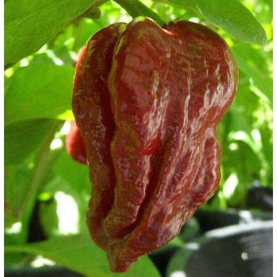 7 Pod Brown Chili Paprika Magok